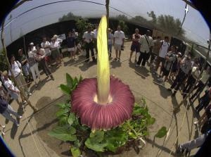 Visitors view the world's largest flower during th